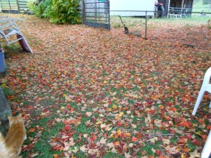 Sugar maples all around the house insure color in the fall.