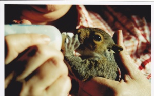 Baby squirrels are so easy to care for and they usally bond with only one person after being orphaned and thats usually whoever feeds and bathes them.