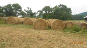 One of three haylots full of round bales.