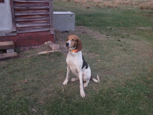 Lady Brandy - Walker hound