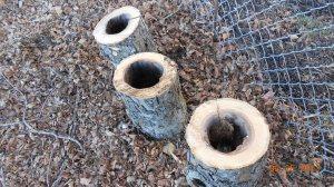 Apple tree stumps