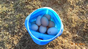 Fresh eggs straight from the henhouse but they need cleaning.
