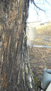 Ice frozen all down the tree.