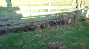 Potted apple root stock in the sun but the board fence protected them from the summer winds.