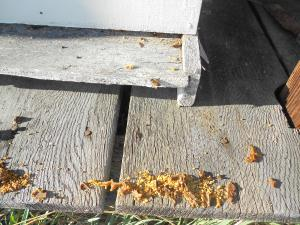 The bees are cleaning house much like I do in the spring.