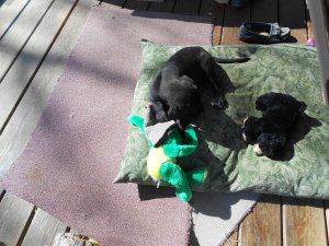 Gyp playing on her cushion witha green frog.
