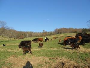 2013 Spring calves