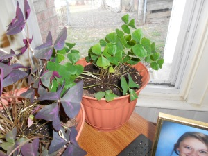 Green and purple shamrock