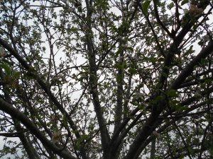 Apple bloom full