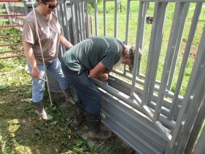 Banding calves 05212013