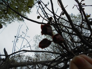 Pawpaw bloom