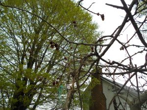 Pawpaw trees blooming