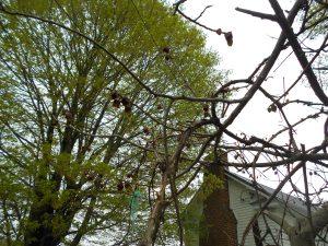 Pawpaw trees blooming