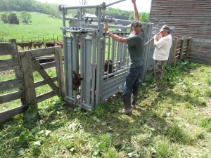 Working calves 05212013
