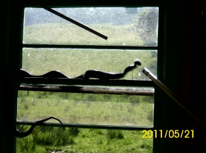 Black snake sunning in the window of a storage house we have on the farm.