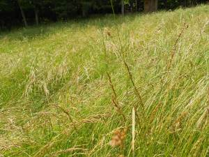 Pasture grass taller and thicker than whats in the hayfields.