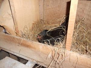 Broody hen #4