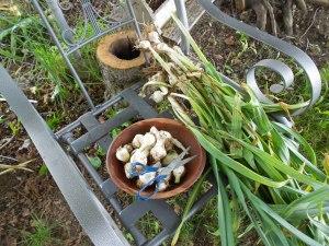 Fresh picked garlic
