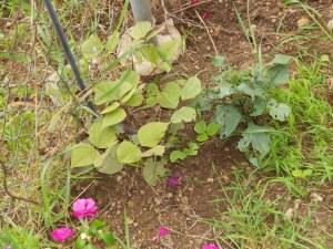 hyacinth bean-getting a late start.