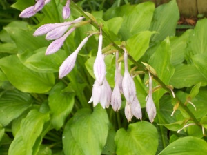 More hostas-the hummingbirds love these.