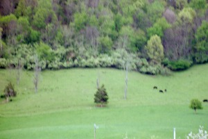Wildlife and cattle (8)