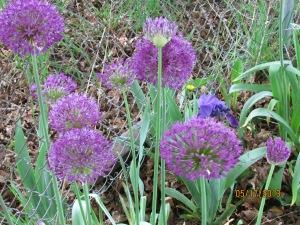 Allium 052013