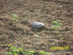 dean helping and snapping turtle in garden 004