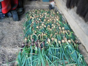 This is the best onion crop we've had in a long time.