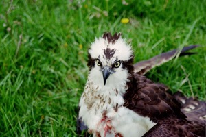 Fish Hawk 2012 (4)