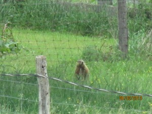 groundhogs 2013 (11)
