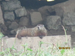 groundhogs 2013 (8)
