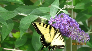 Butterflies enjoying the butterfly bush