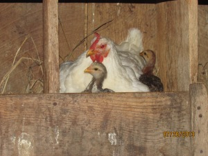 The little girls like to stay close to Mom at night and they gather under and around her in the nesting boxes.