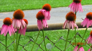 purple coneflowers are pink this year.