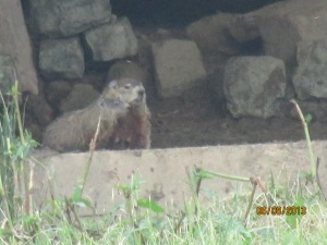 Baby groundhogs everywhere 2013 (11)