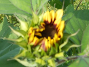 Sun flower bloom!