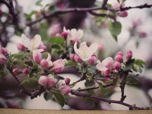 Apple blossoms speak spring!
