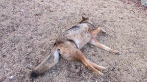 Coyote snared 02022014 (5)