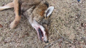 Coyote snared 02022014 (8)