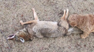 Coyote snared 02022014 (9)