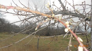 Peach tree budding!