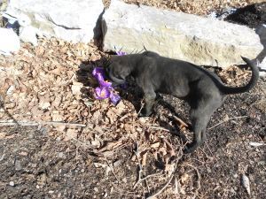 Puppy checking out the purple crocus-that is springtime!