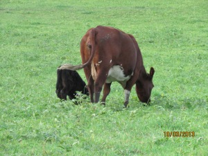 Grace and her calf grazing.
