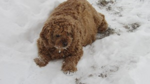 With a full coat and she loves the snow!!  We have her sheared three or four times a year.