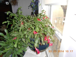 These two Christmas cactus bloomed last summer, two weeks before Christmas and started blooming again two weeks ago.