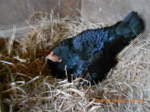 Crow has beautiful feathers of black and blue-black that glisten when the sun hits her.