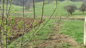 Pear trees sprouting.