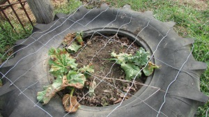 Rhubarb coming in but frost burnt the leaves badly.  I'll clip the leaves and start fresh after this weeks frost pass.