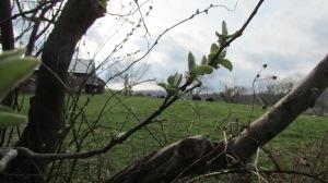 Quince tree in south west corner of garden.