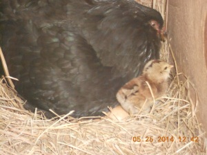 Black Americana cross with two little chicks.